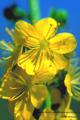 Bach-Blüten Therapie mit Agrimony