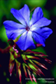 Bach-Blüten Therapie mit Cerato