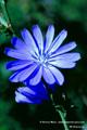 Bach-Blüten Therapie