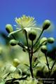 Bach-Blüten Therapie mit Clematis