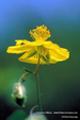 Bach-Blüten Therapie mit Rock Rose