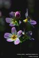 Bach-Blüten Therapie mit Water Violet